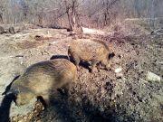 Divlje_svinje_gater_Klanac-5