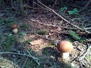 gljive2018-07
